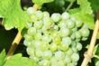 Wespe auf Weintrauben