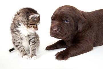 Hauskätzchen und Labradorwelpe