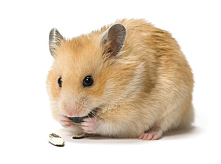 Hamster eating sunflower seeds