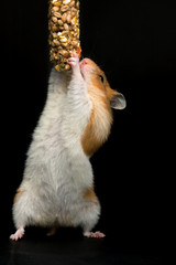 Hamster climbing for food