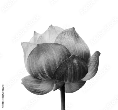 Papiers peints Fleur de lotus Lotus flower in black and white isolated on white background
