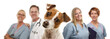 Jack Russell Terrier and Veterinarians Behind