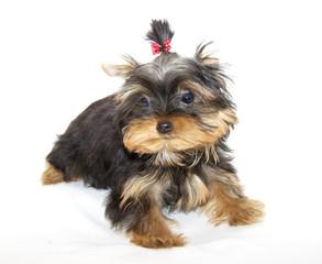 pupyy Yorkshire Terrier