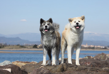 couple d' akita inu en bord de mer