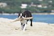 boston terrier transportant un bout de bois