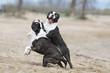 bagarre entre deux chiens boston terrier