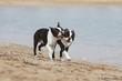 couple de boston terriers jouant sur la plage