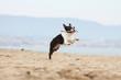 beautiful jump of the boston terrier