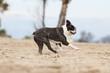 boston terrier running on the beach