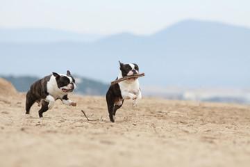 course de deux chiens sur la plage avec un bâton