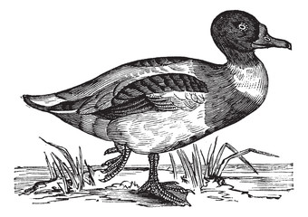 Common Shelduck (Tadorna vulpanser), vintage engraving.