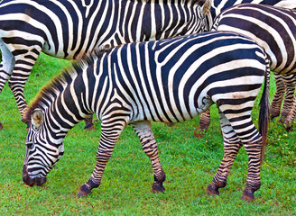 Wild zebras grazing in a green savanna