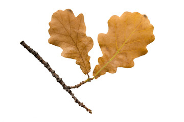 The autumn oak twig on white background