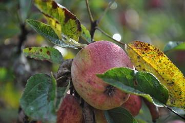 rugiada su mela