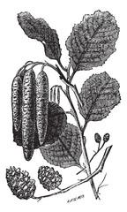 Alder or Alnus vintage engraving