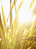 Sun shining through flax grass