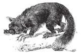 The Aye-aye, lemur or Daubentonia madagascariensis. Vintage engr poster