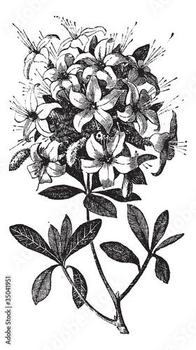Azalea or Rhododendron vintage engraving