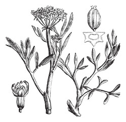 Samphire or rock samphire or Crithmum maritimum, vintage engravi