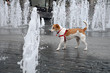 Wet  Parson Jack Russell Terrier wandering through fountain