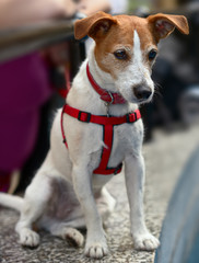 Smooth coated Parson Jack Russell Terrier, watching