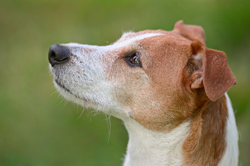 Smooth coated Parson Jack Russell Terrier portrait