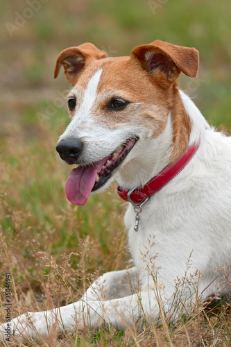 Smooth coated Parson Jack Russell Terrier resting after a run