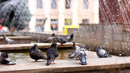 pigeons in the fontain