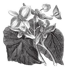 Begonia or Begoniaceae flower, vintage engraving.