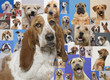 Basset hound and montage of various dogs