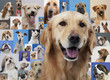 Golden retriever and montage of various dogs