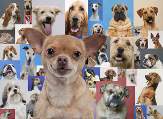 Chihuahua and montage of various dogs