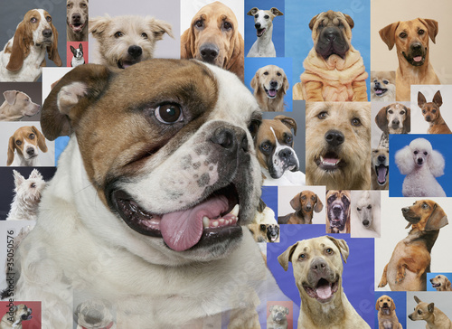 English bulldog and montage of various dogs