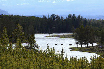 Elk crossing river in remote area