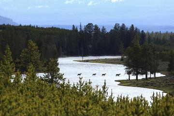 Elk crossing river in remote area