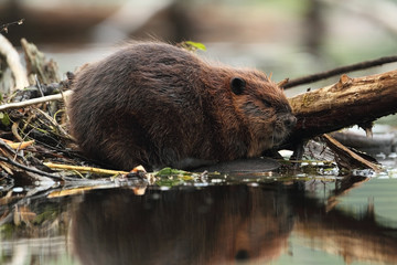 North American Beaver - Ontario, Canada