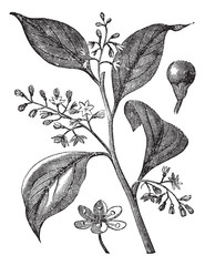 Camphrier officinal or Camphora officinarum vintage engraving