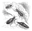 Cantharis or lytta vesticatoria or Spanish fly  vintage engravin