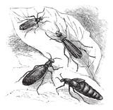 Cantharis or lytta vesticatoria or Spanish fly  vintage engravin