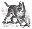 Caracal or Lynx vintage engraving