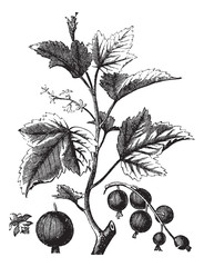 Ribes berry or blackcurrant or vintage engraving