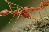 Macro - Ant