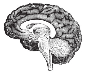 Vertical section of side view of a human brain vintage engraving