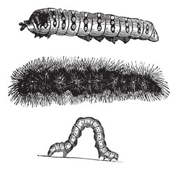 Caterpillar vintage engraving