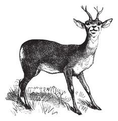 Roe Deer vintage engraving