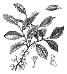 Cocaine or Coca or Erythroxylum coca vintage engraving