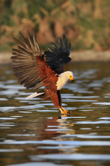 African Fish Eagle atacks fish at lake Naivasha, Kenya