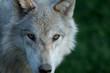 Fototapeta Alfa - Canino - Dziki Ssak