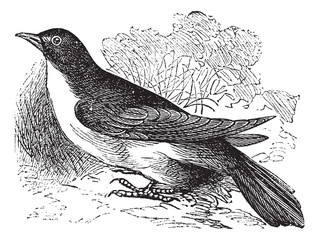 Yellow-billed Cuckoo or Rain Crow or Storm Crow or Coccyzus amer