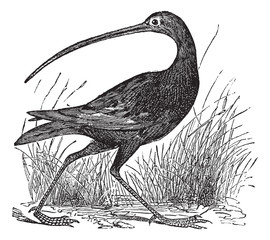 Slender-billed Curlew or Numenius tenuirostris vintage engraving